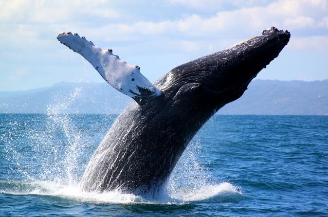 Они вернулись! Горбатые киты уже в Доминикане!