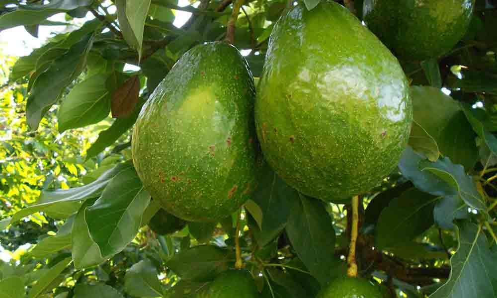авокадо доминикана 1