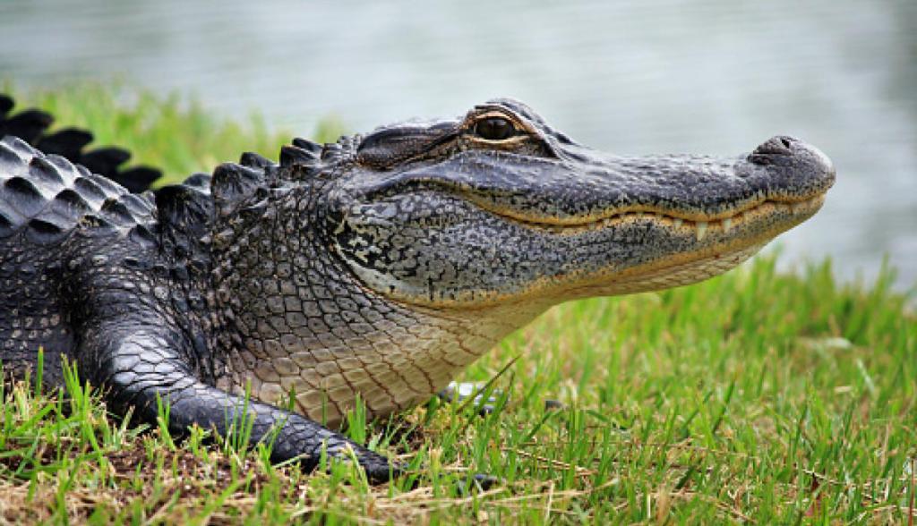 В Санто Доминго биологи обнаружили крокодилов. Видео