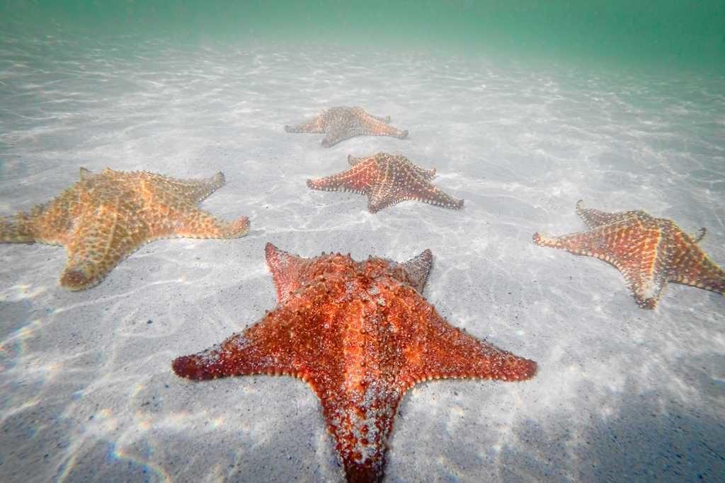 морские звезды Саона