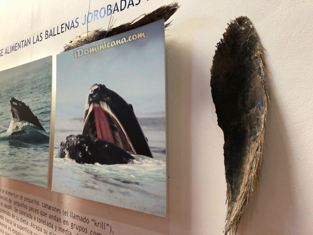 Музей китов в Доминикане – АйДоминикана