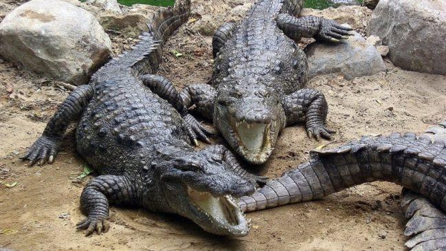 В Доминикане задержали наркоторговцев, скармливавших своих жертв крокодилам