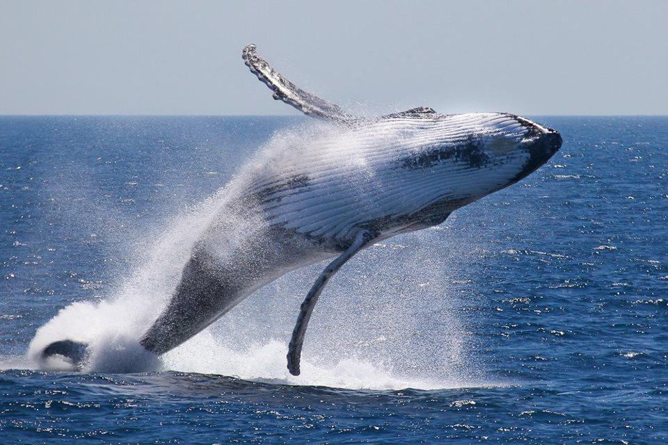 Сезон китов в Доминикане 2020: сколько китов приходит в залив Самана