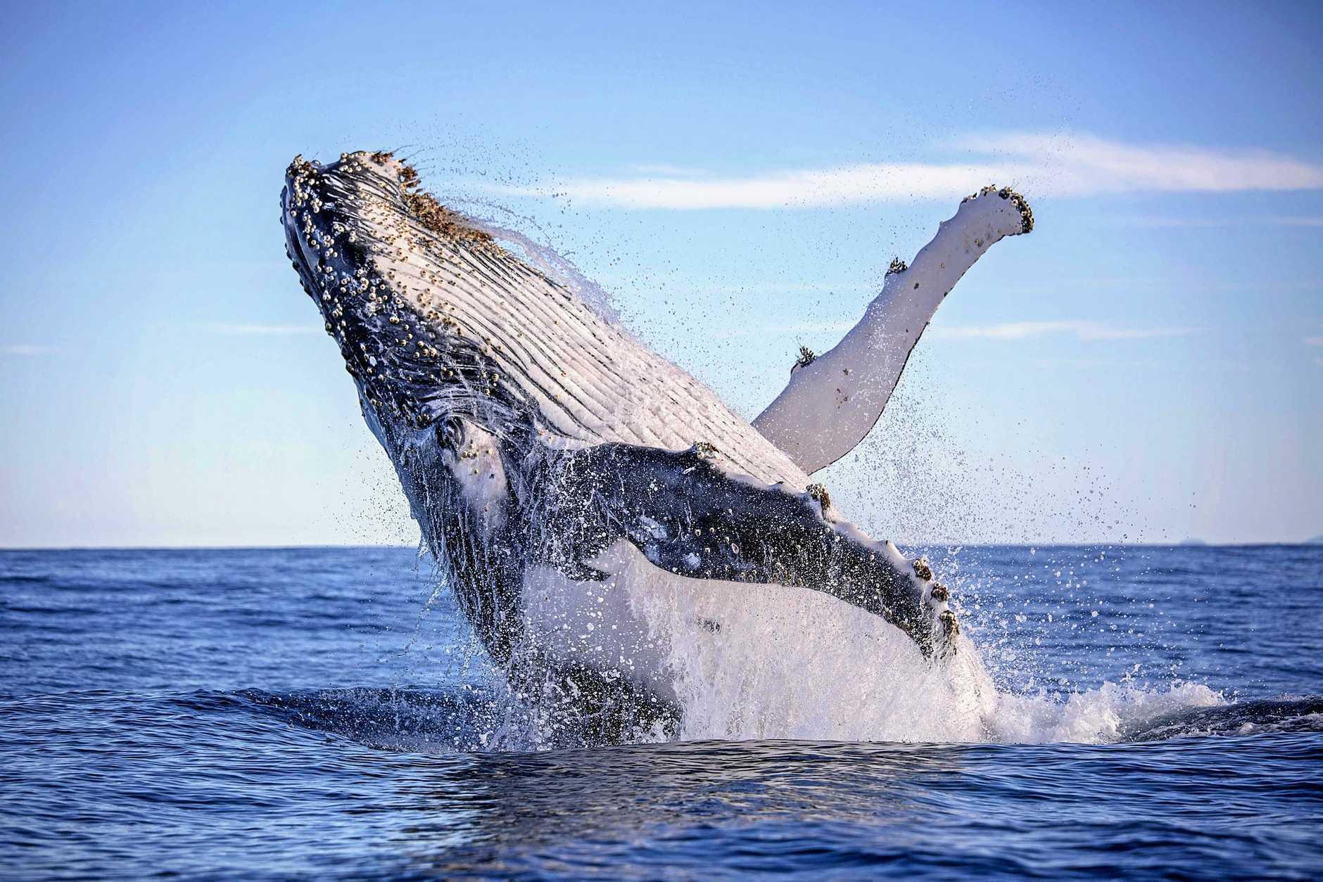Правила наблюдения за горбатыми китами в Доминикане