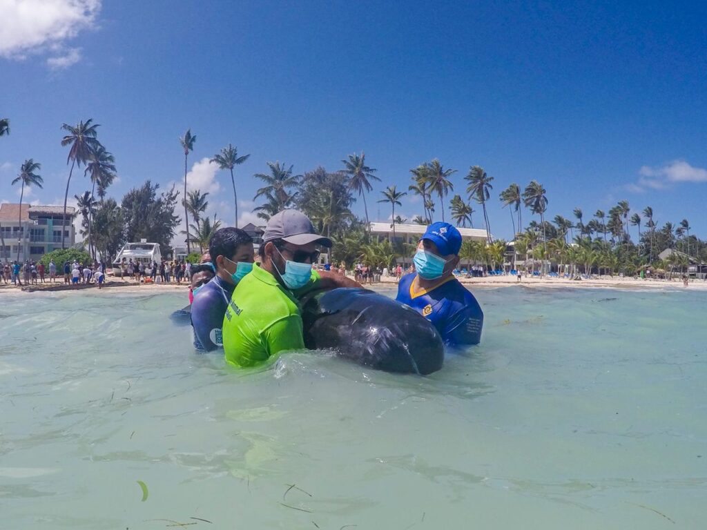 Гринда в Доминикане: в Баваро спасли не кита, а черного дельфина